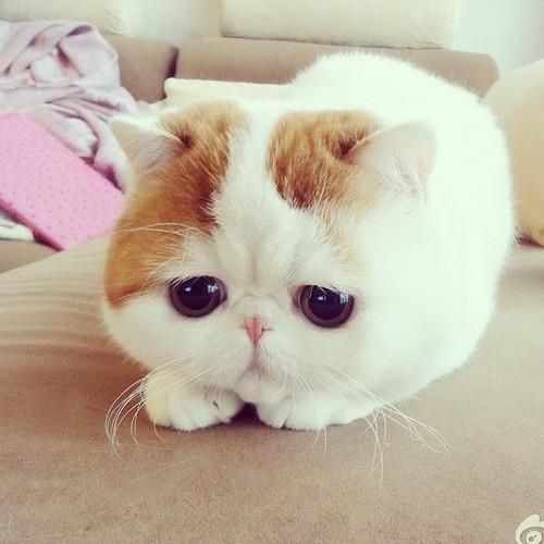 Cute Cat Big Eyes Waiting Lol Cats With Bigger Funny