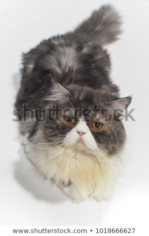 Funny Persian cat color white and gray White background