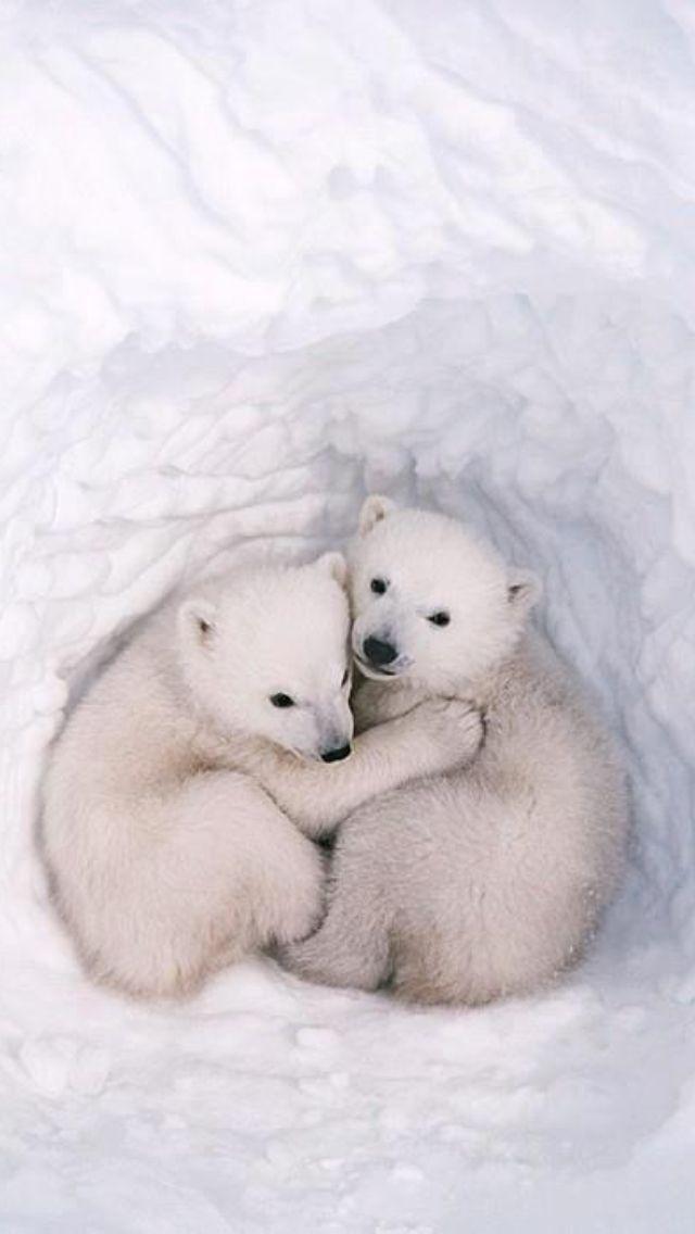 Polar Bears snuggling Baby Polar Bears Oso Polar Polar Cub Cute Polar Bear