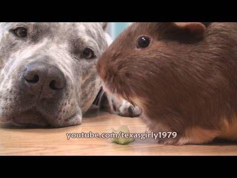 Guinea Pig LOVES DOG Pit Bull Sharky