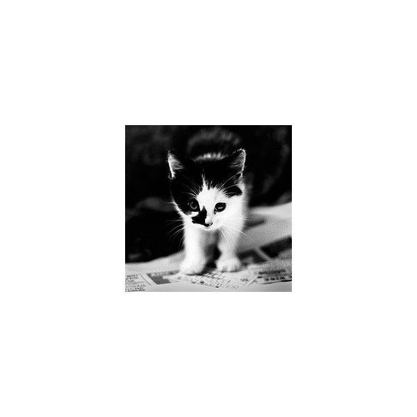 black and white kitten image picture by desert rose13 bucket ❤ liked on Polyvore featuring animals cats pictures backgrounds and pets