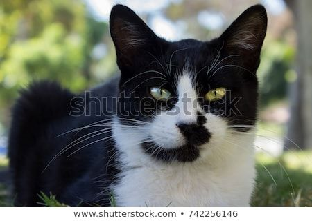 Funny looking cat black and white with black spot on face laying on grass outdoors