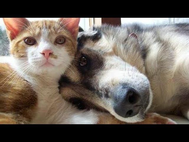 Adorable Dogs and Cats Playing to her – Funny Dog and Cat videos