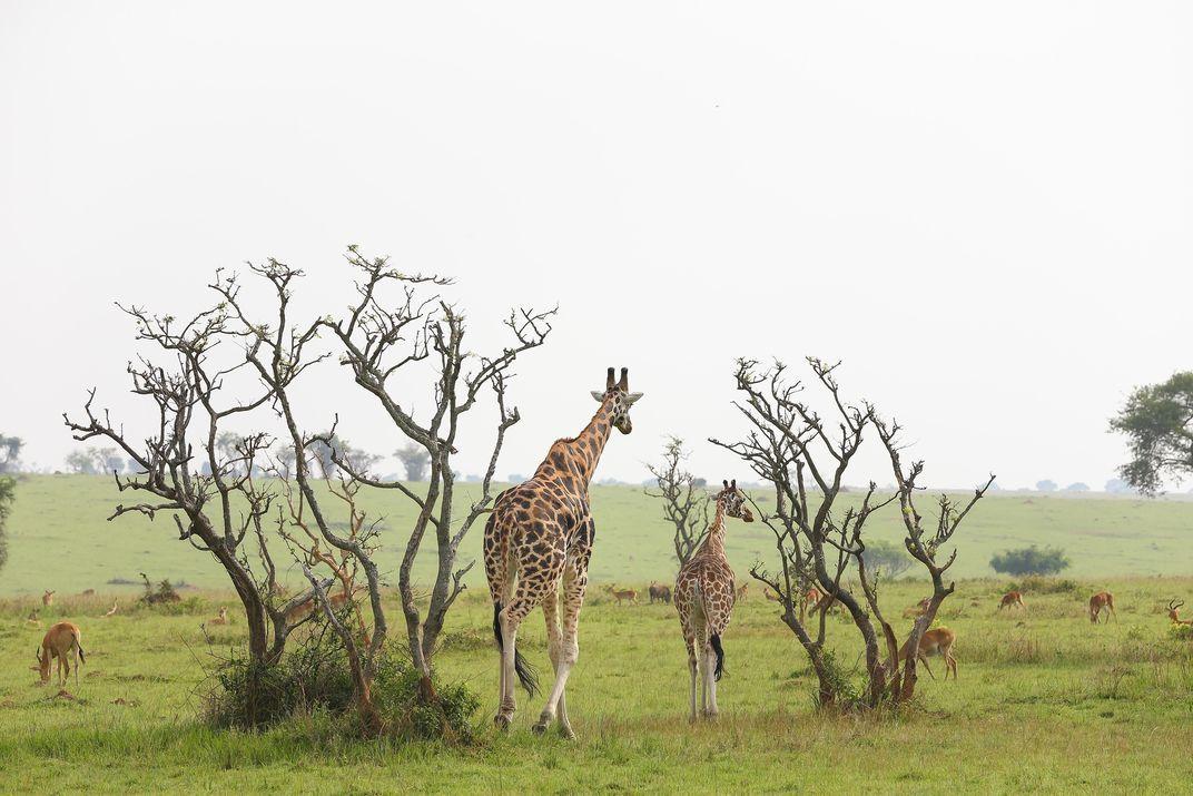 A male Rothschild s giraffe