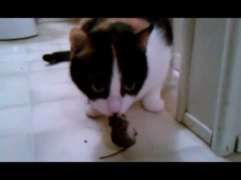 Funny cat and Mouse Video