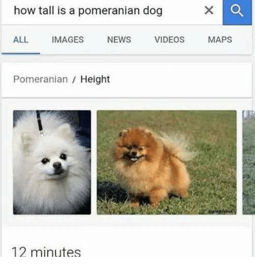 Dogs News and Videos how tall is a pomeranian dog ALL IMAGES NEWS