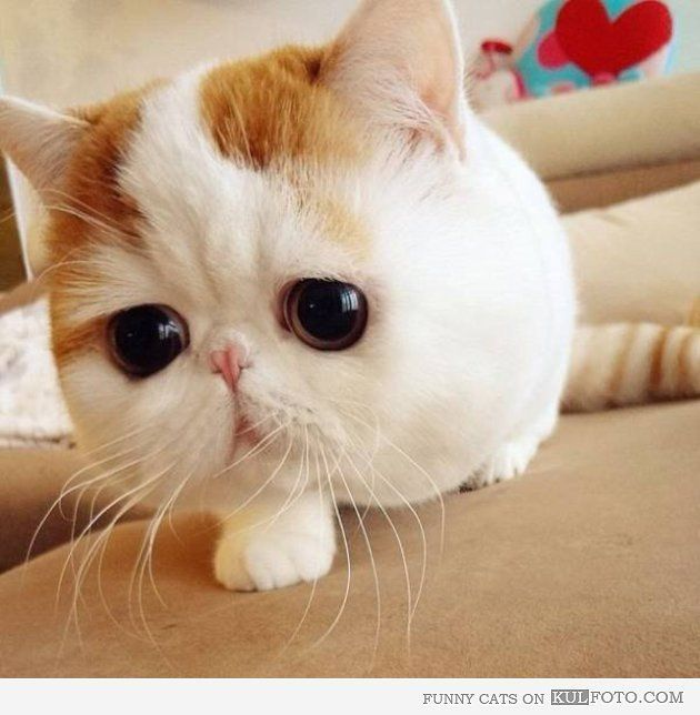Cat Snoopy Funny cat with round face and big eyes looking cute like the cat version of Snoopy