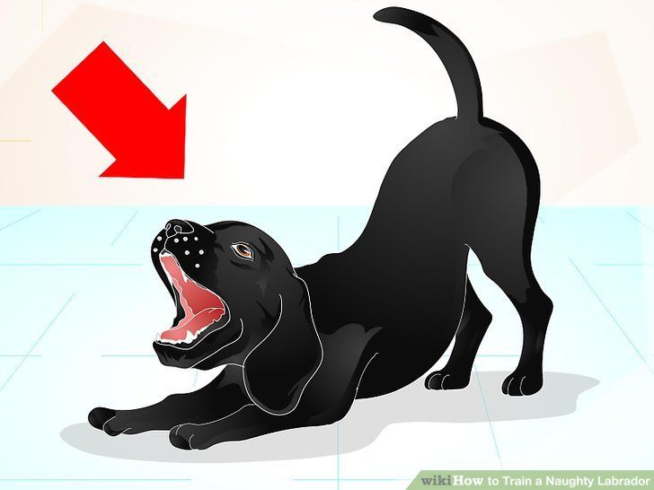 Image titled Train a Naughty Labrador Step 1