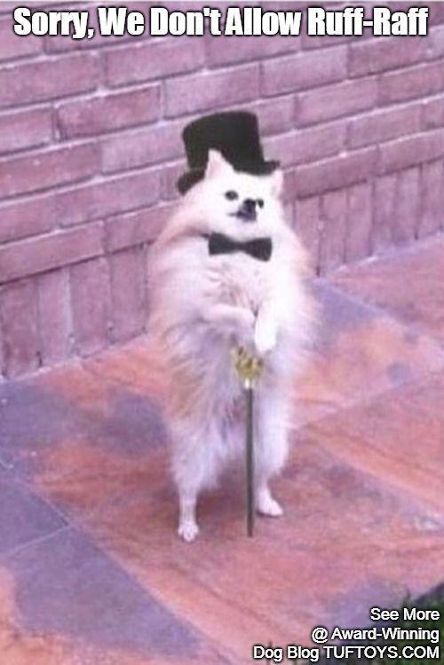 Hoity toity Pomeranian type guard dog that thinks he has the right to deny