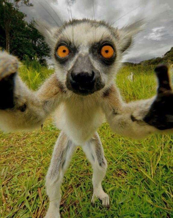 Lemur Lemurs Ugly Animals Odd Animals Unusual Animals Happy Animals Strange