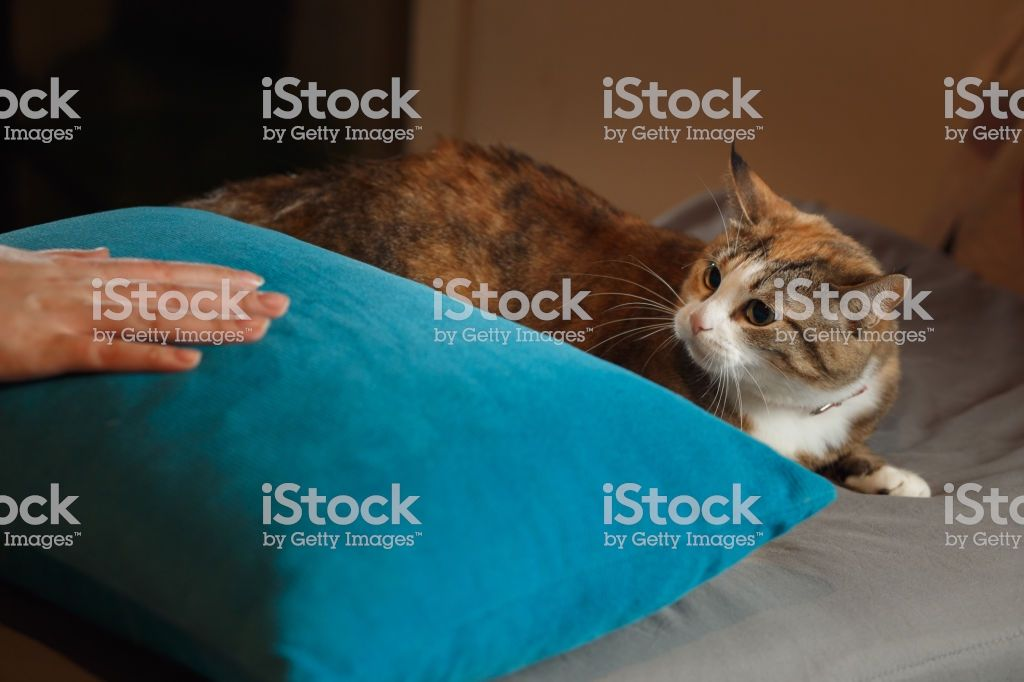 Funny angry cat Orange cat playing with human hand on the blue pillow Stock image