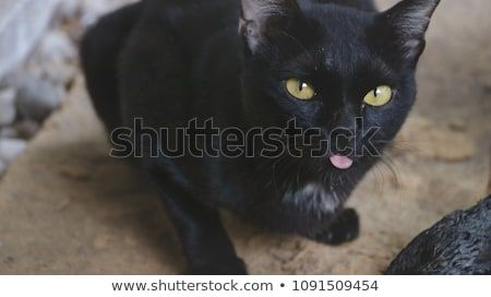 Cute Black Cat Sticking the Tongue Out while Taking Series