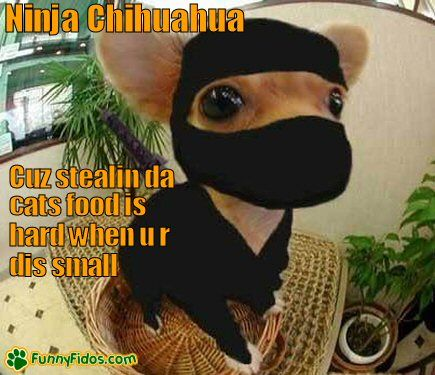 Little Chihuahua in a ninja outfit