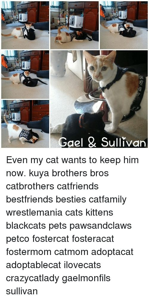 Cats Memes and Wrestlemania Gael Sullivan Even my cat wants to keep him