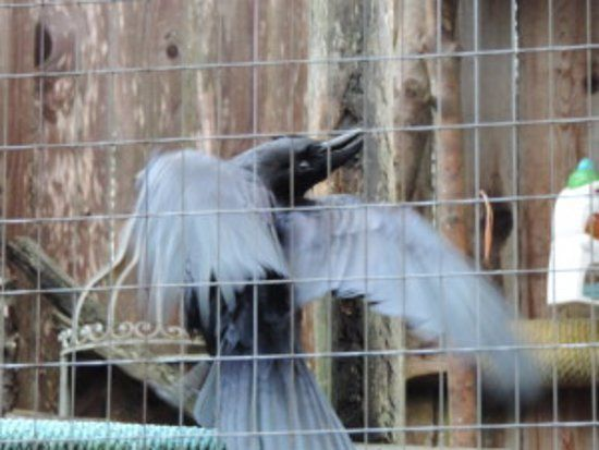 North Island Wildlife Recovery Centre Trickster a funny raven
