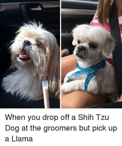 Dog Shih Tzu and You