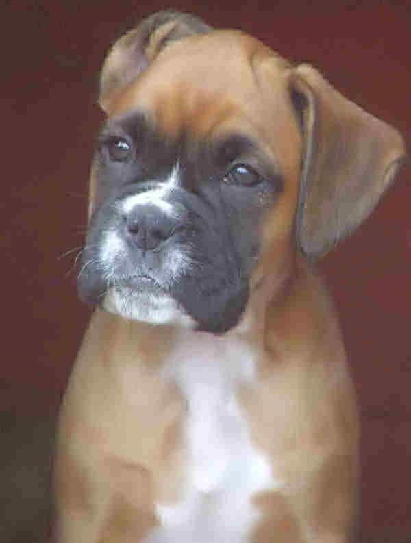 Boxer dogs and puppy pictures by siacybox boxers cutepuppiespicturesreallycute