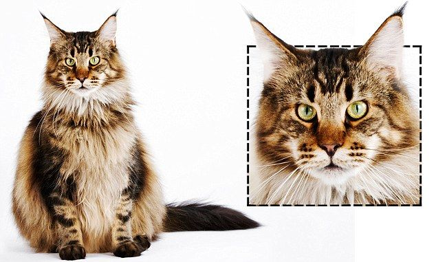 Cats with square faces are often keen to please their owners Square cats