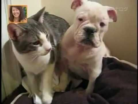Funny Cat Bullying Cute Bulldog Puppy