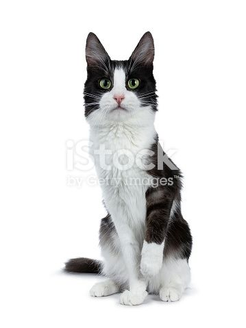Funny Black Smoke With White Turkish Angora Cat Sitting White Background With e Paw Slightly Lifted From Ground Stock & More of