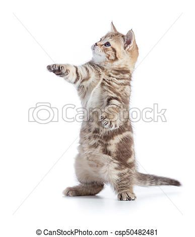Funny cat standing isolated with paw up csp