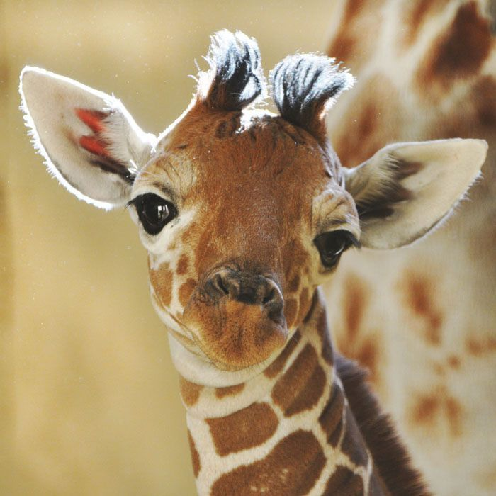 baby giraffe I m so cute my mom won t let me outside til after dark because of