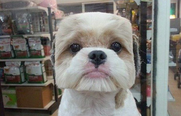 Gather the Best Of Funny Pekingese Dog Pictures