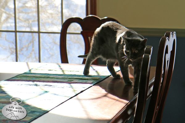 Athena cat walking on dining room table …