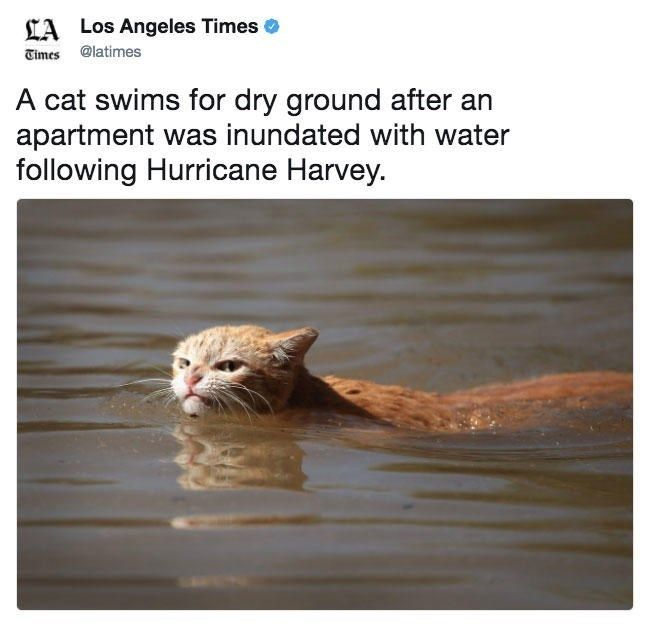 Cat swims for dry ground after Hurricane Harvey Tweet in LA times