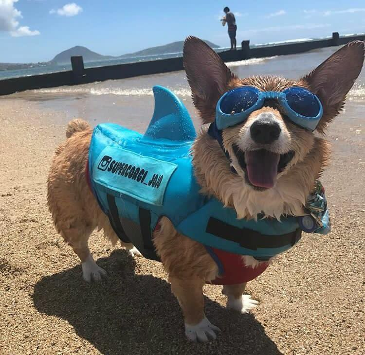 Super Corgi Jojo has landed ad deals with mattress brands