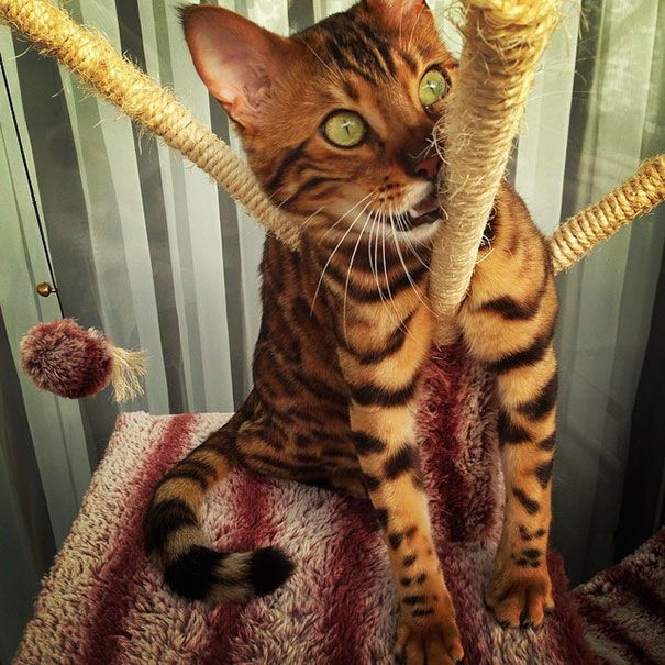 "bengal cat spots fur thor 23 """