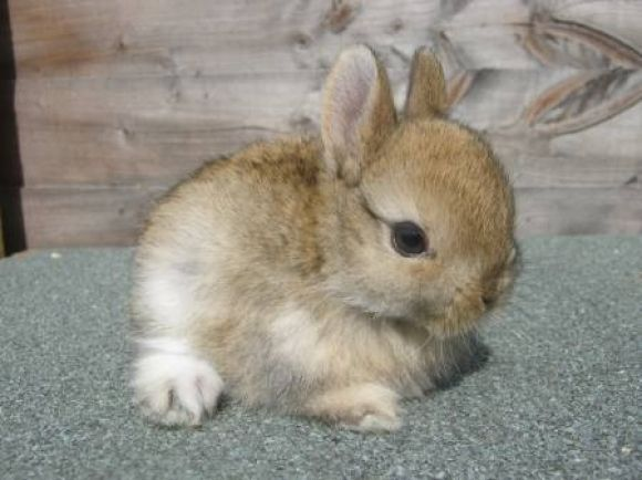 Netherland dwarf rabbit Oh that is one of the cutest bunnies I have ever seen 3 233 Animal 生灵 Bunny 兔兔
