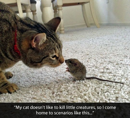 funny cat mouse afraid