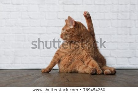 Funny Ginger cat in yoga pose