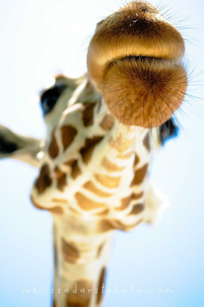 Giraffe Fauna Beautiful Creatures Animals Beautiful Beautiful Things Big Kiss Giraffe