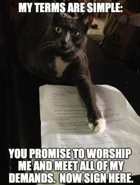 Funny cat meme My terms are simple