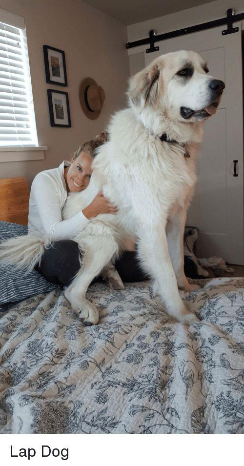 Dog Lap Dog and Lap Lap Dog