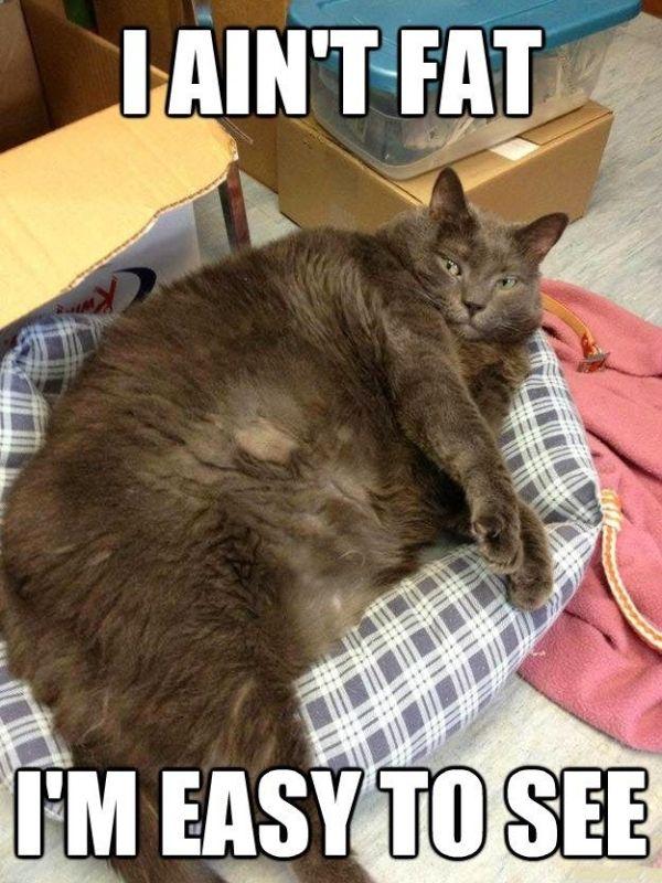 Fat Cat Meme I ain t fat i m easy to
