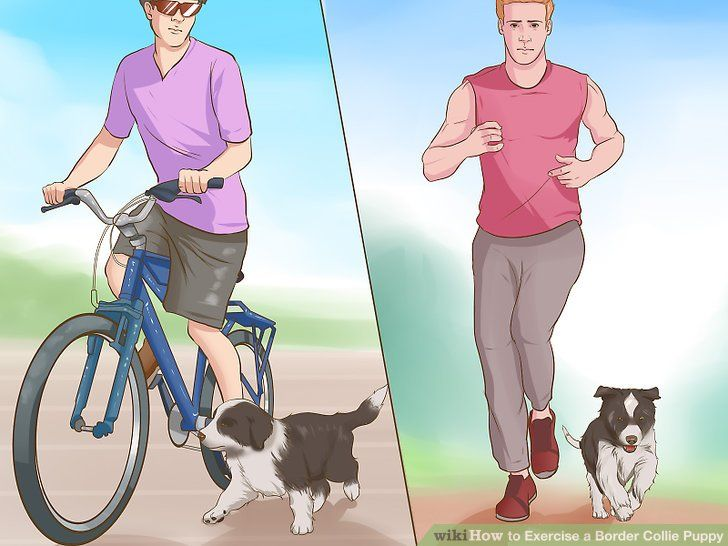 Image titled Exercise a Border Collie Puppy Step 5