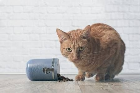 Tabby cat caught while stealing food from a open food container Stock