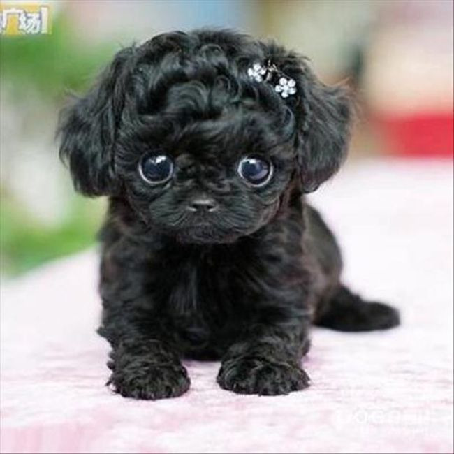 CUTES PUPPIES IN THE WORLD cutest puppy in the world contest animalsandpets