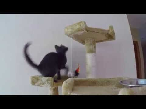 Funny Russian Blue Kitty Funny Cat pilation