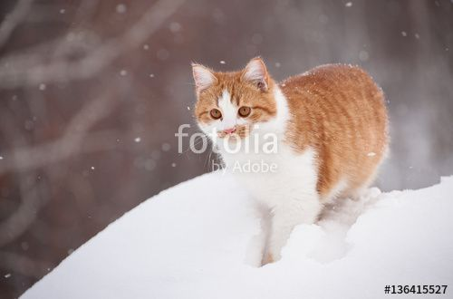 winter cold ginger the cat is walking funny rural