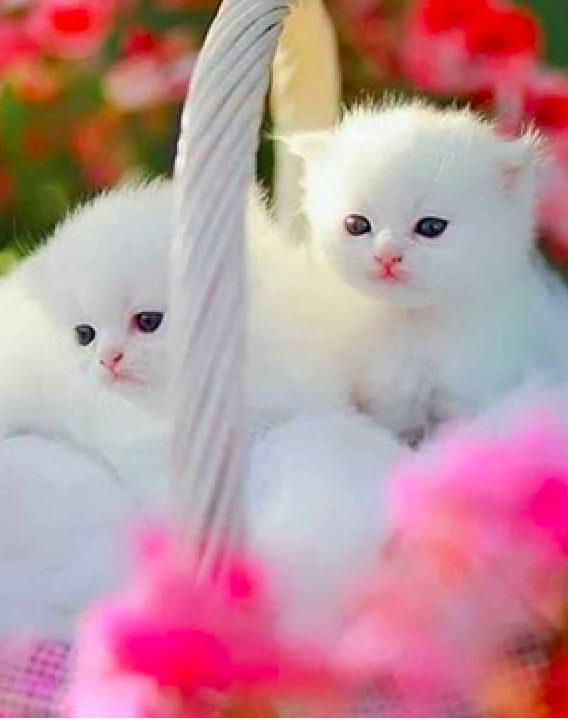 Persian cuties • photo Mylaphotography on dreamstime