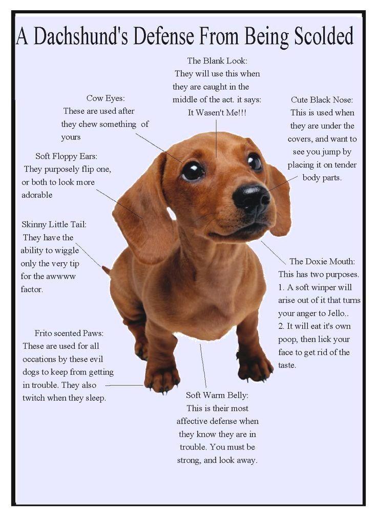 Dachshund Gifts Dachshund Dog Wiener Dogs Daschund Dachshund Quotes Dachshund Puppies