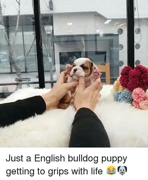 Dank Puppies and Bulldog R9 Just a English bulldog puppy ting to grips