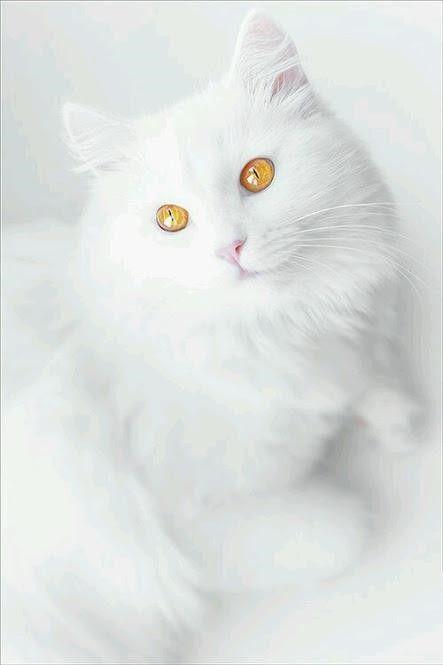 Funny Cute White Cat