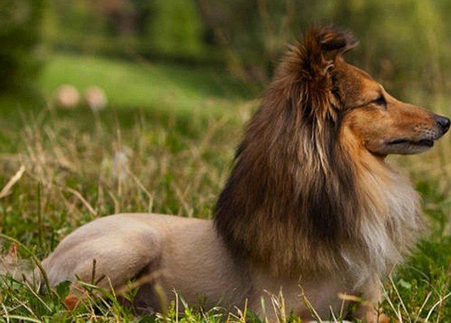 Lassie of the jungle This collie dog has had its hair shaved so it looks like a lion
