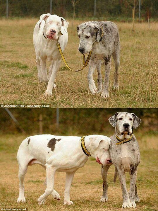 A dog leading his blind dog friend on a walk