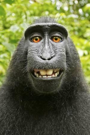 david slater monkey selfie u L Q19SLRT0